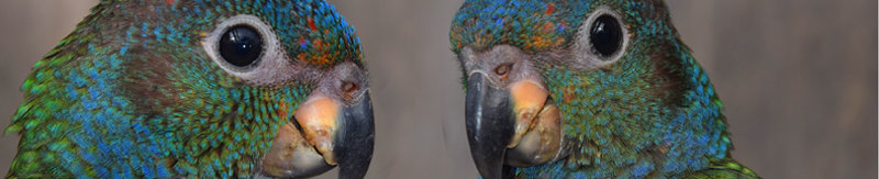blue headed parrot photo banner