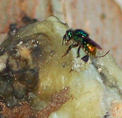 Orchid bee collecting copal resin.  Plowden/CACE
