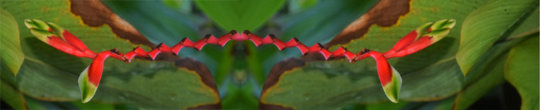 Heliconia flower in the Peruvian Amazon