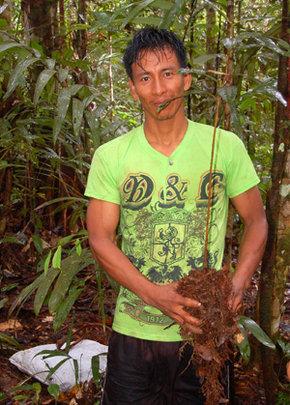 Bora man and rosewood seedling near Brillo Nuevo