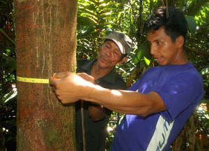 Bora men measuring diameter of copal tree