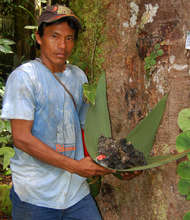 Bora man harvesting fragrant resin from copal tree