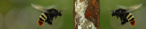 Orchid bee males at copal resin lump