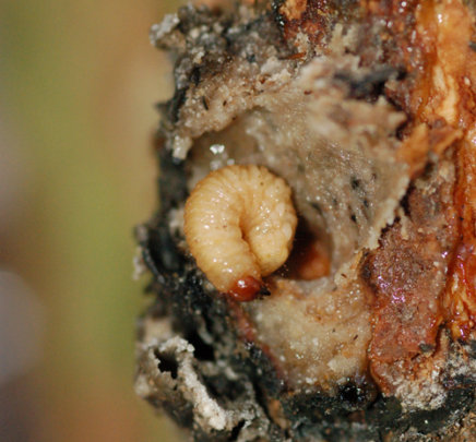 Weevil larva in copal resin lump