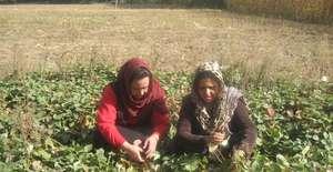 GPFA staff members inspecting a strawberry garden
