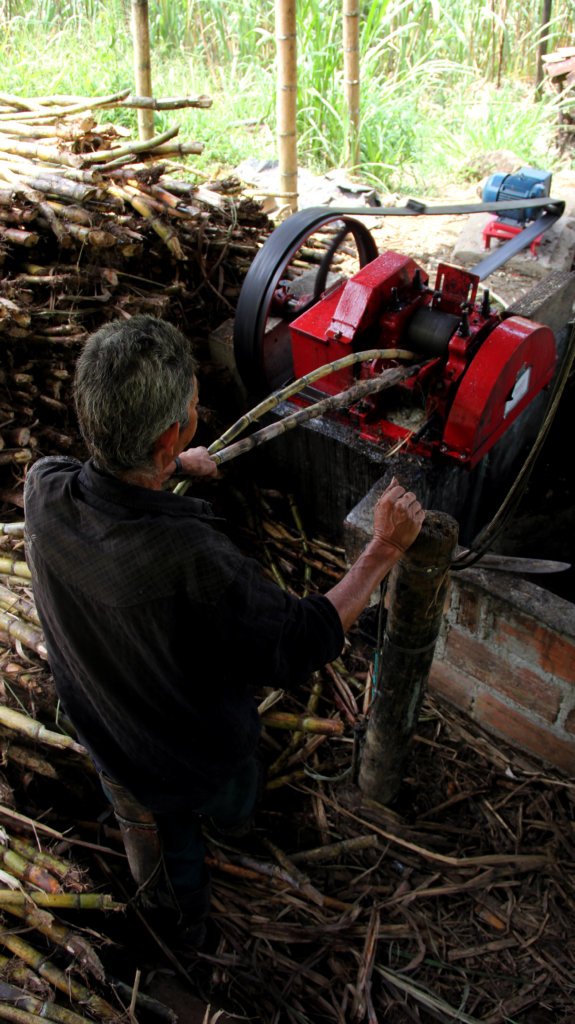 Feeding raw sugar cane into the machines