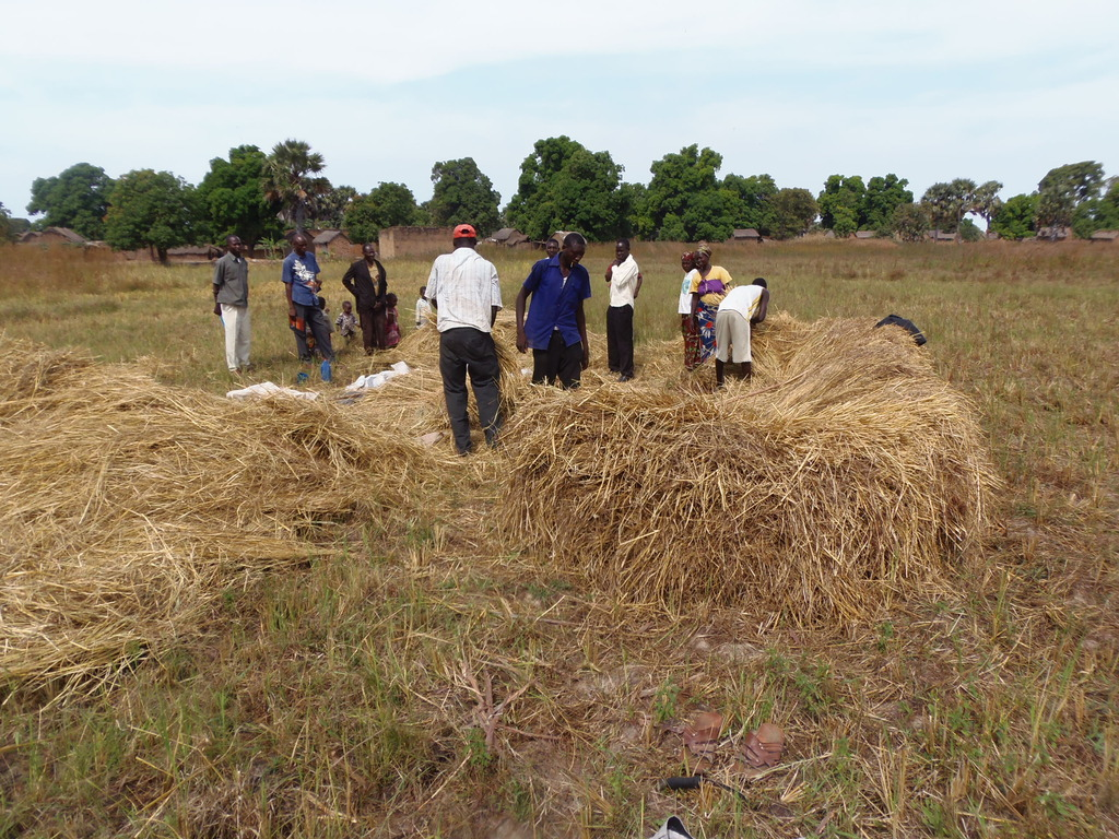 Rice cultivators in Nya, look at all that straw...
