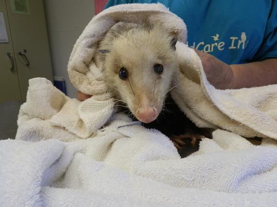 Opossum hit by car