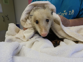Opossum hit by car