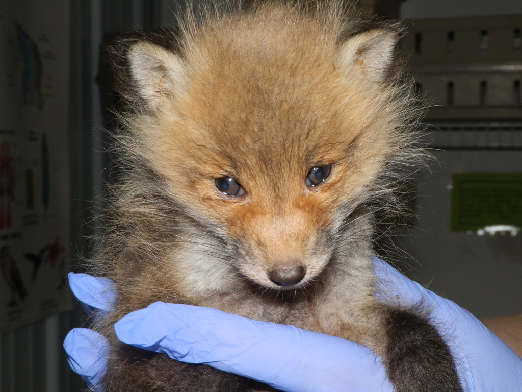 Baby Fox admitted after barn fell on her