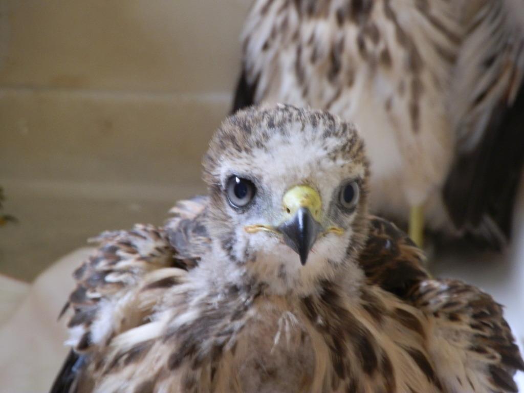 Red-Shoulder Hawk Fledges
