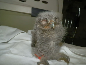 Infant Eastern Screech Owl