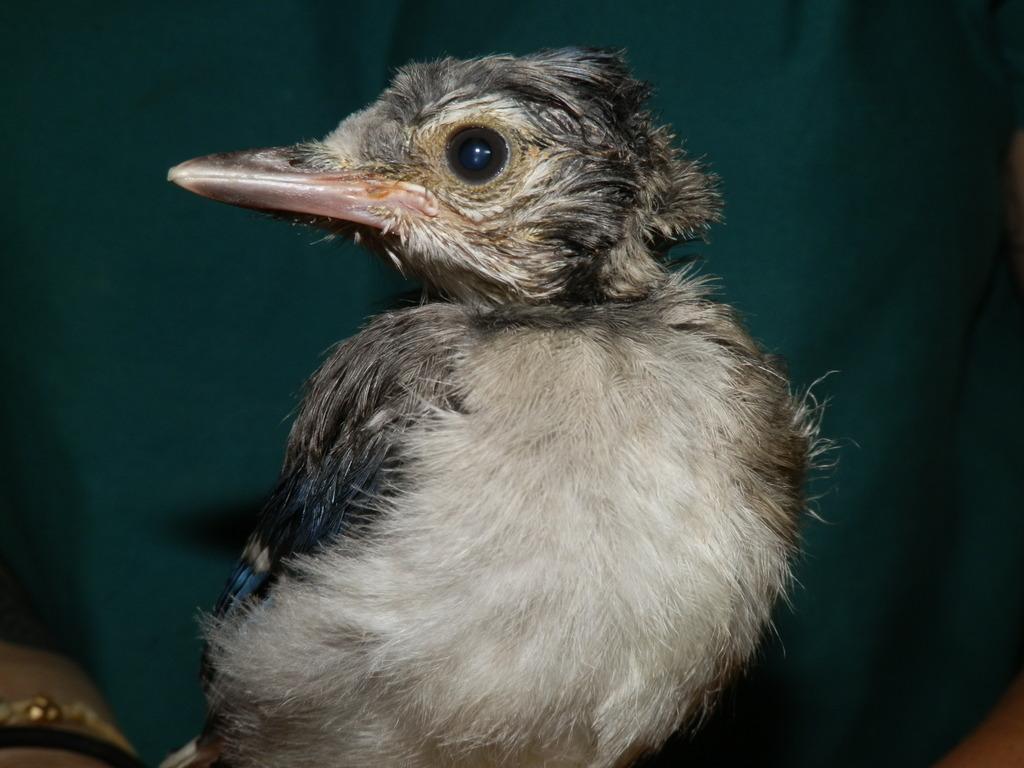 Baby Blue Jay Fledge