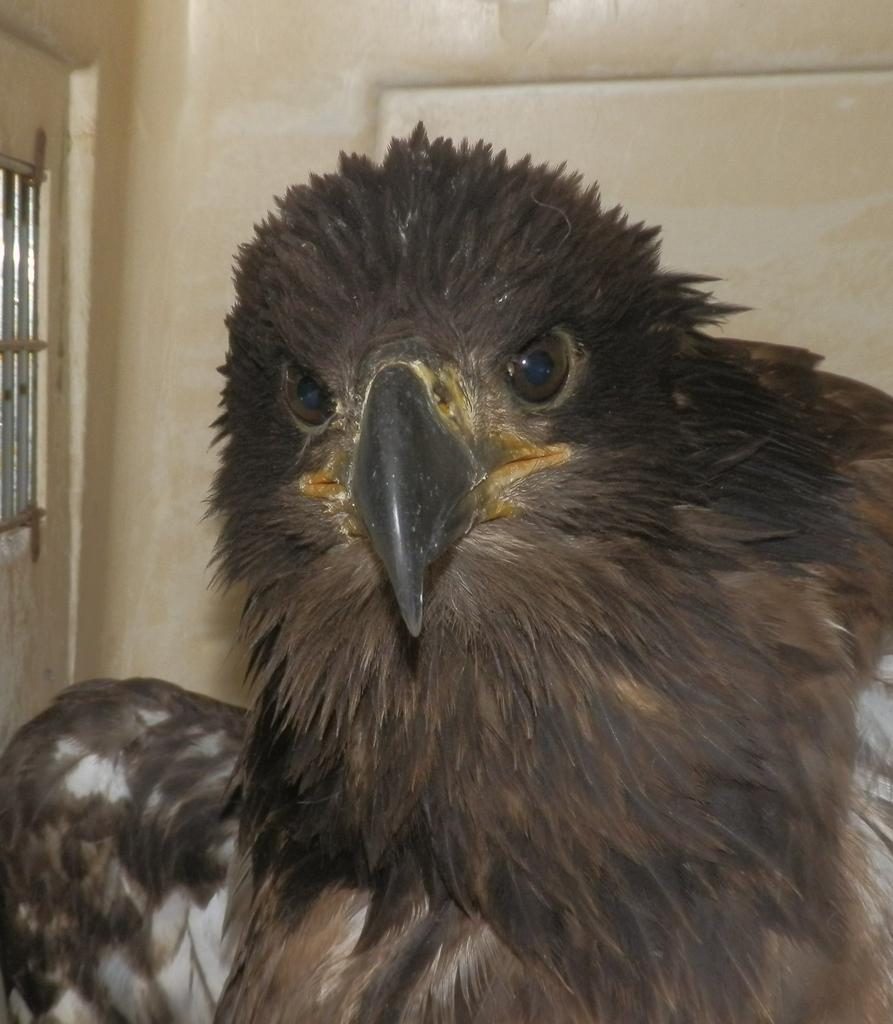 Bald Eagle Fledge 1
