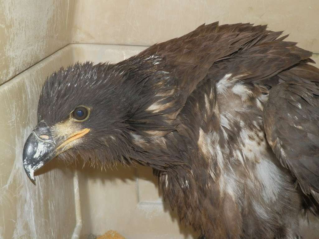 Bald Eagle Fledge 2