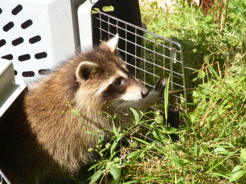First Raccoon release