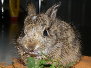 Eastern Cottontail found almost frozen