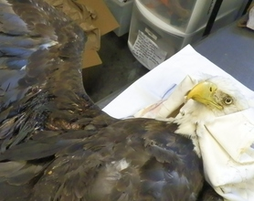 Bald Eagle shot and hit by car