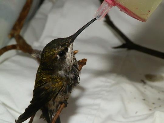 Hummingbird late hatch