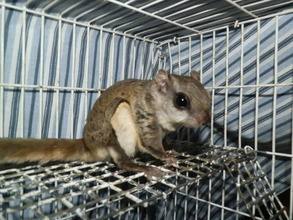 Flying Squirrel with head injury