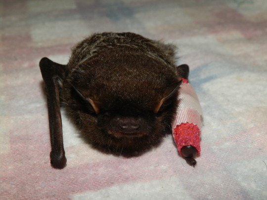 Brown bat cat attack broken wing
