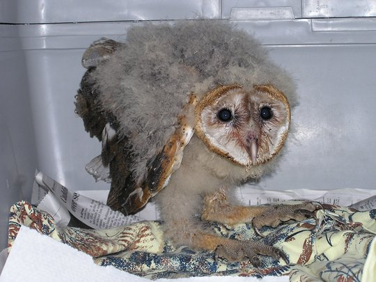 Barn Owlets