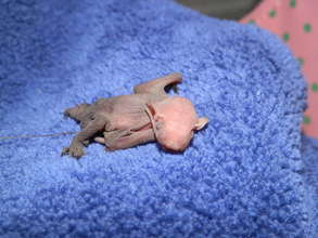 Infant Big Brown Bat