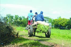 Carabao Hauling Fertilizer