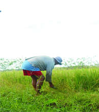 Weeding of Palay(Ricefield)