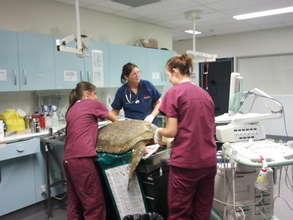 Stranded turtle being cared for by JCU vet staff