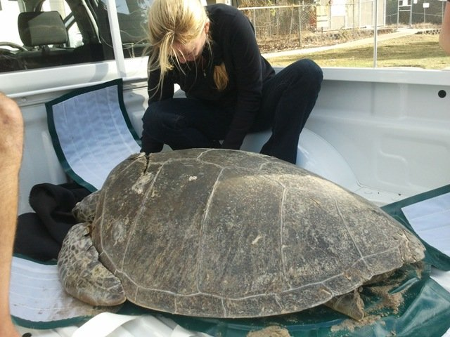 Injured turtle transported in Parry Nissan ute