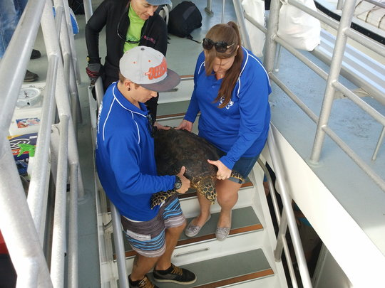 A hawksbill turtle is released after health checks