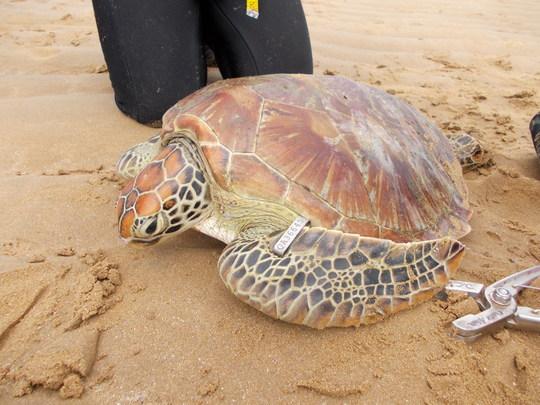 Green sea turtle sporting a new ID tag