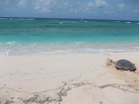 Raine Island turtle heads back to the water