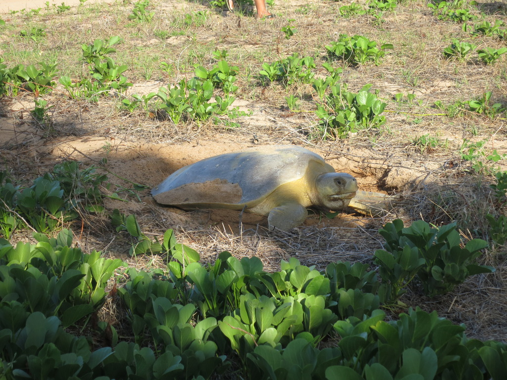 Flatback turtle nesting (pic by Claire Bisseling)