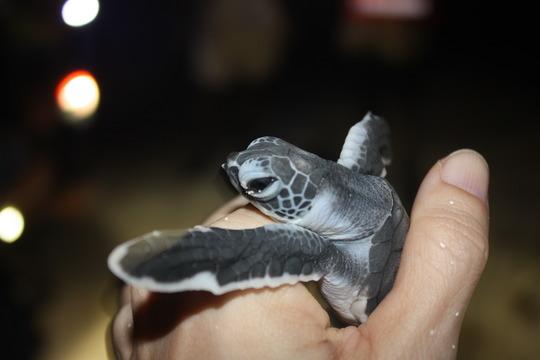 Green turtle hatchling on Raine Island