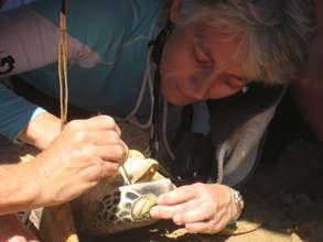 Dr. Ariel checks a sea turtle for parasites