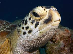 Save sea turtles on the Great Barrier Reef