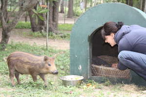 Give our Bushpig 'Herbie' a new home