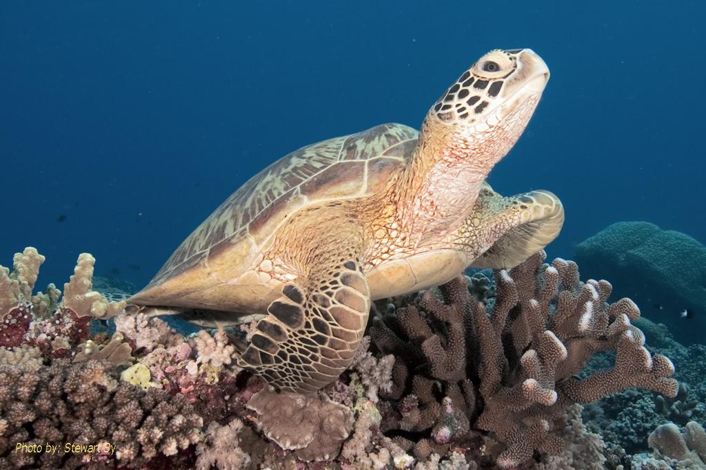 Greensea Turtle by Stewart Sy
