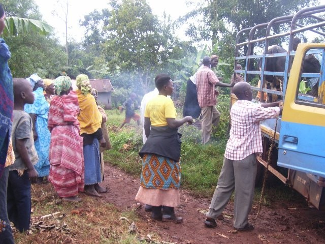 Offloading the cows: welcome to your new home!