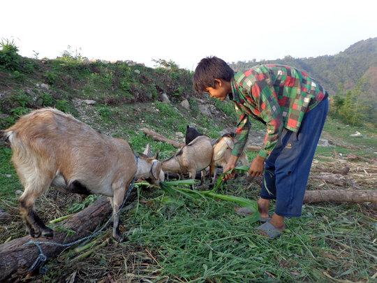 Milan taking care of Goat as an income of family