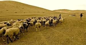 Livestock belonging to Traditional Herders