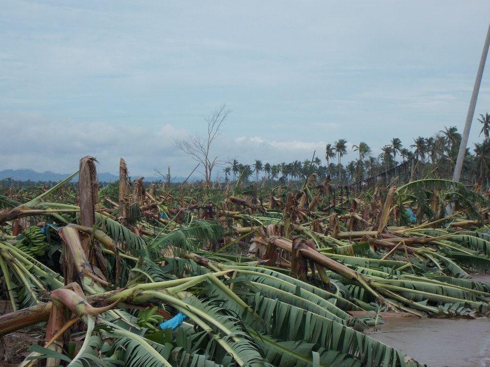 Banana Plantation Devastated