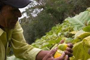 A farmer picking vegetables in Nicaragua