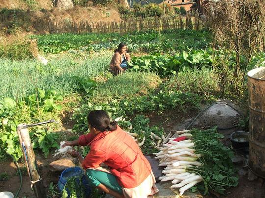 Women harvesting food from their garden