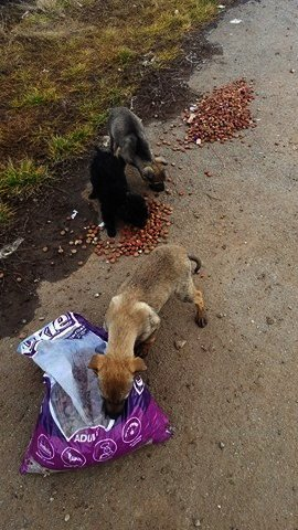 food for RO puppies on field.jpg