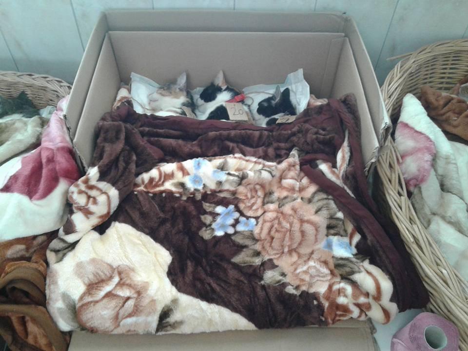 kitties in Tecuci spayathon