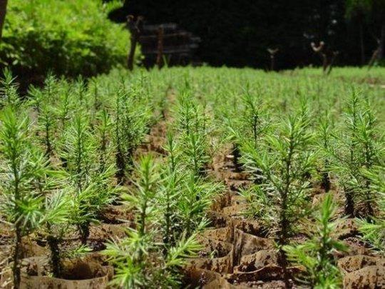 Seedlings for distribution