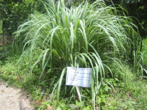 Lemon Grass grown in Herbal Garden by students